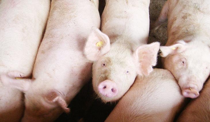 丸一ファームの子豚2
